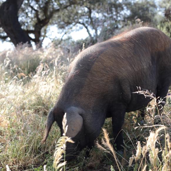 Iberico pig in Spain